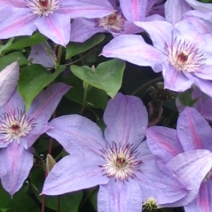 clematis-minister-flowers