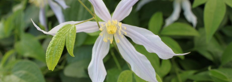 clematis-athena-flowers-for-sale