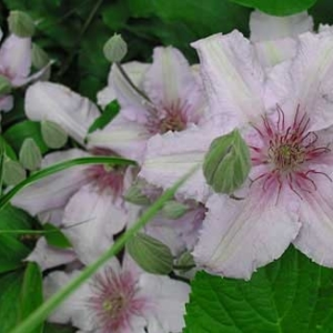 clematis-marmori-plants-for-growers