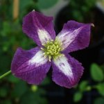 clematis-white-heart-viticella-plants