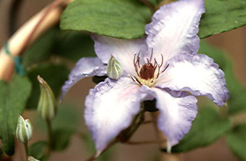 budding-clematis-ekstra-flower_roseville-farms.jpg