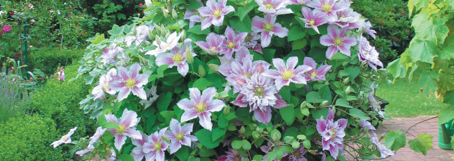 buy-clematis-little-duckling-plant.jpg