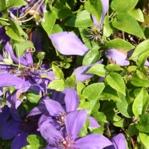 clematis-general-sikorski-flowers-online-for-gardeners.jpg