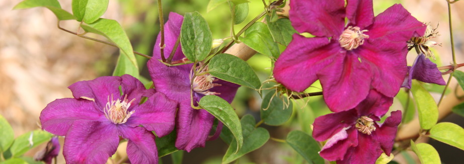 clematis-romantika-plants-for-the-yard.jpg