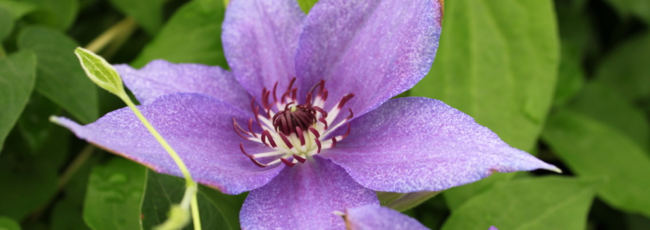 clematis-uno-plants-for-yard.jpg