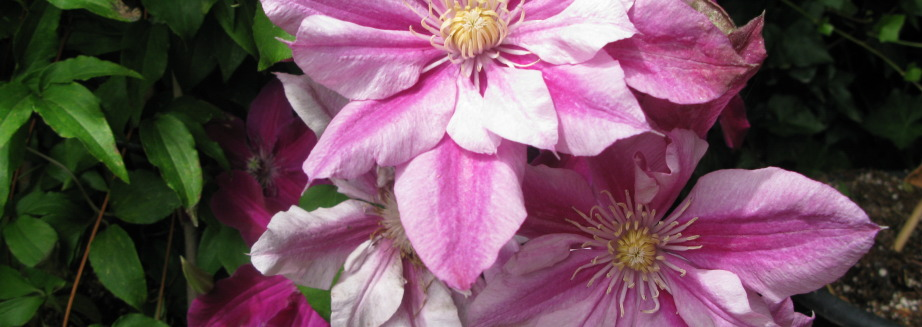 patricia-ann-fretwell-clematis-flower-for-yard.jpg